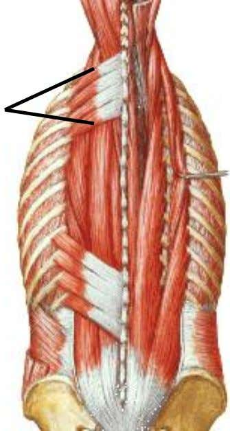 superior muscle :  Action: elevates the ribs is therefore an inspiratory muscle  Nerve supply: