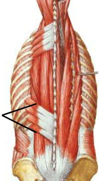 inferior muscle :  Action: depresses the ribs is therefore an expiratory muscle  Nerve supply: