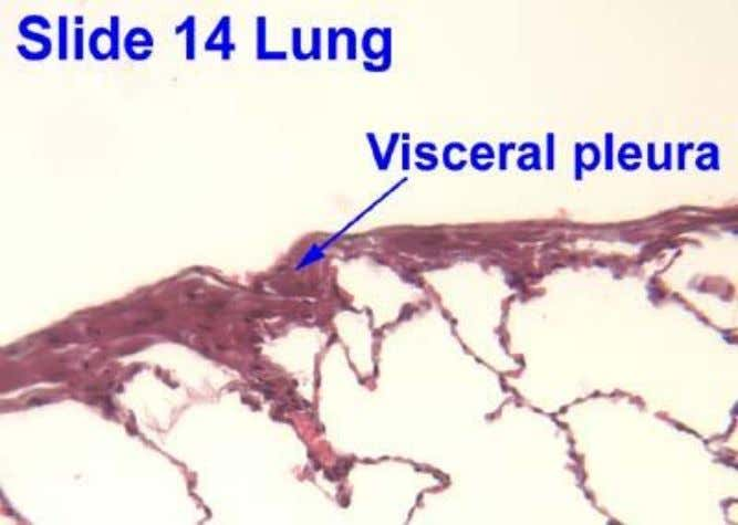 Thoracic Cavity Pleura