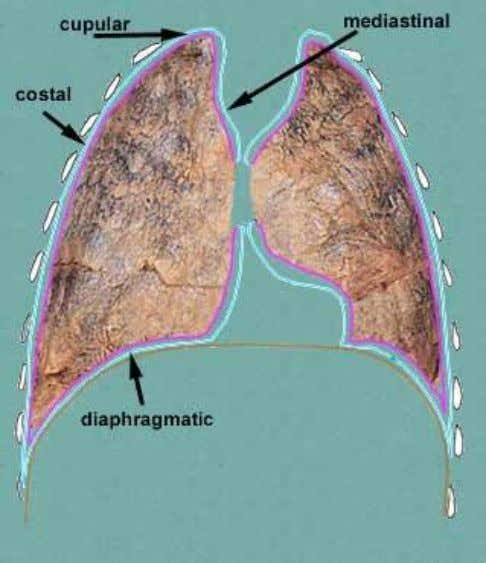 thoracic surface of the diaphragm Mediastinal pleura –  covers & forms the lateral boundary of
