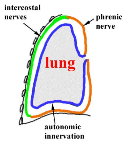 pleura – around the domes by the phrenic nerve & around the periphery by the lower
