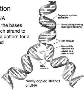Newly copied strands of DNA