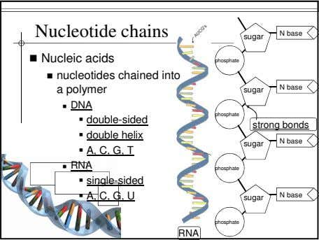 Nucleotide chains N base sugar Nucleic acids phosphate nucleotides chained into a polymer N base