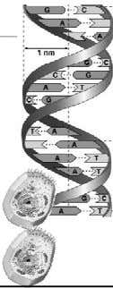 strands of DNA helix are complementary they are matching have one, can build other have one,