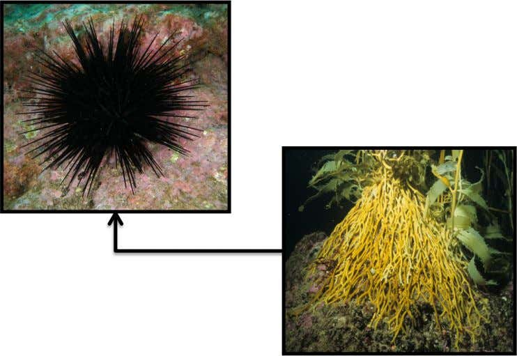Tasmanian Kelp System No oSers ! Top predator in system is spiny lobster .