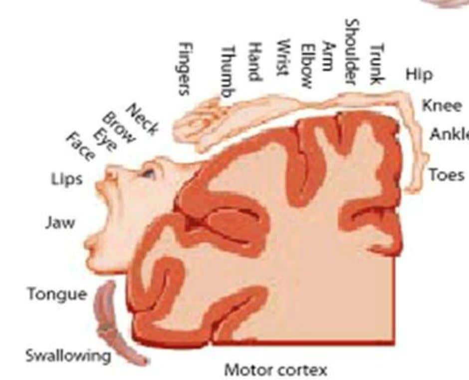 Frontal Lobe – motor strip