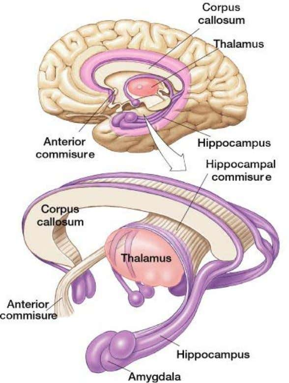 "The Limbic System  A.K.A. ""emotional system""  Olfactory cortex  Smell  Hippocampus "