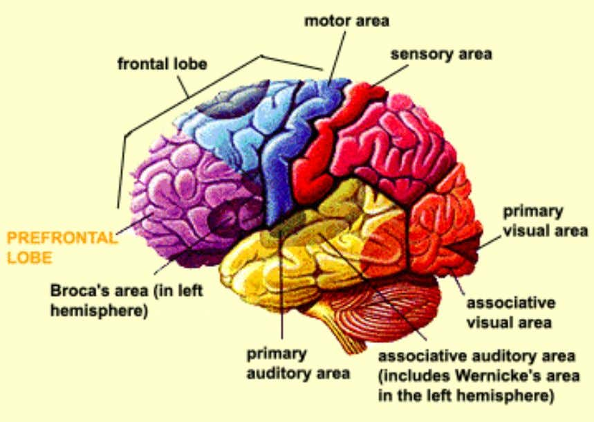 Short term memory – prefrontal Lobe
