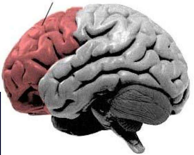 The Frontal Lobe  Extends back to the central sulcus  executive functions  thought 