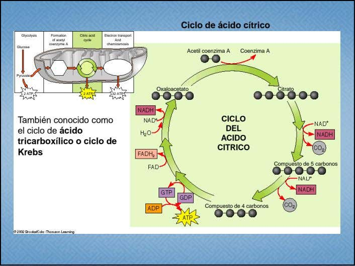 Ciclo de ácido cítrico Glycolysis Formation Citric acid Electron transport of acetyl cycle And coenzyme