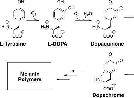 by Tyrosinase To Produce Colored Product Dopachrome of melanin is implicated in a variety of skin