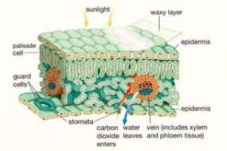 to flow and the guard cells open and close the stomata. Transpiration The loss of water