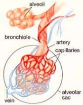 and the capillaries (tissues of the circulatory system) Copyright 2005 – Developed by Edquest Resources
