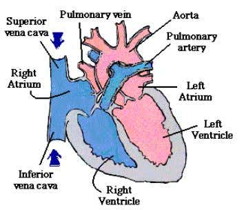 Transports food and gases throughout our body. The Heart Arteries, Veins, and Capillaries The blood vessels