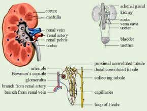 system and what it can be used to show? What is dialysis ? Nervous System Illustrate