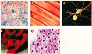 collect oxygen) To provide support Can you identify each? Skin Nerve Blood Bone Different Structures For