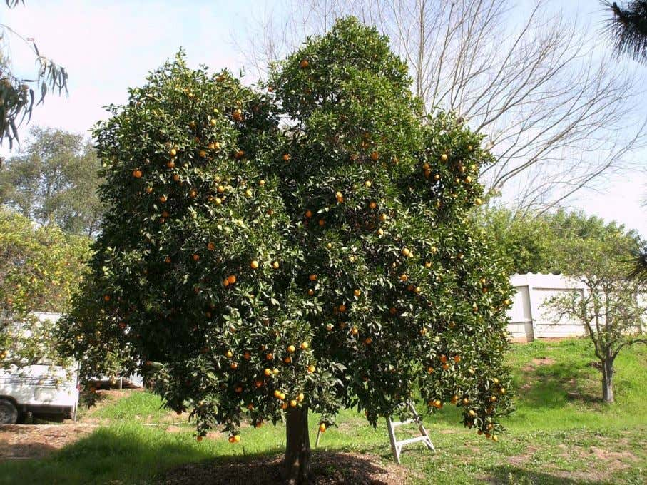 CITRUS PRUNING Pruning techniques for tree health , pest control, fruit production and size control