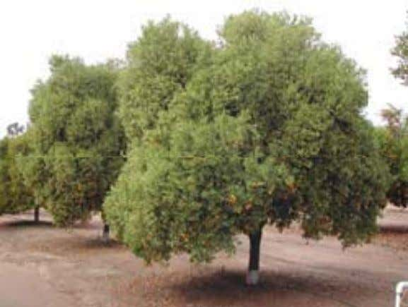 scaffold branches from direct sun and potential sunburn. • Trees can have branches close to the