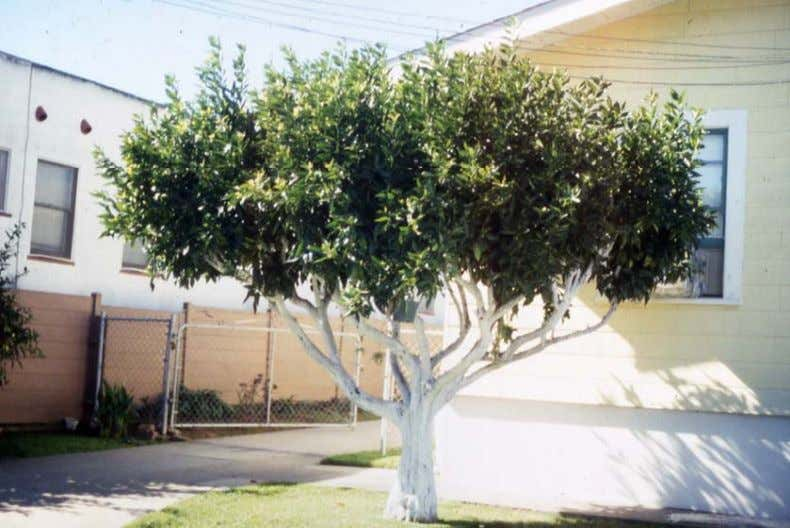during the hotter months or in areas with high temperatures. • To whitewash the bark, use