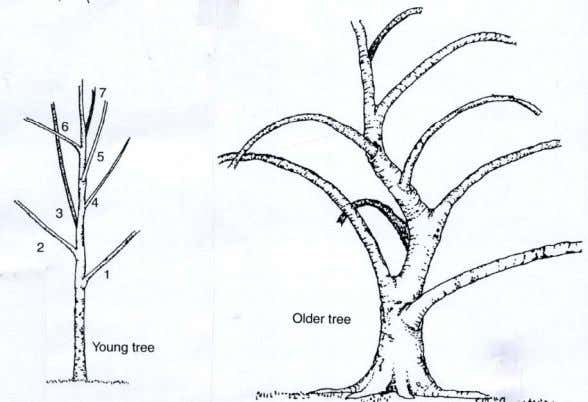 as follows: • Train scaffold branches to be spaced along the trunk both vertically and radially