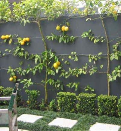 Tree Shapes • Citrus can also be pruned or shaped into hedges or espaliers.