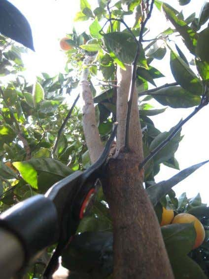 supporting branch at the top of the branch collar can reduce the size of a tree