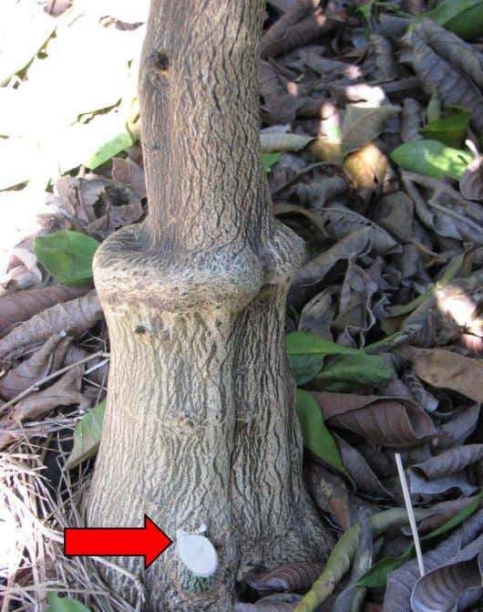 g and dwarfin g out or killing the desired grafted tree. • Start pruning the first
