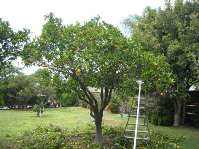 A Systematic Approach to Pruning Citrus