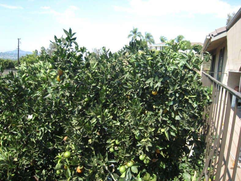 a canopy of foliage that continues to produce food for the tree and that helps to
