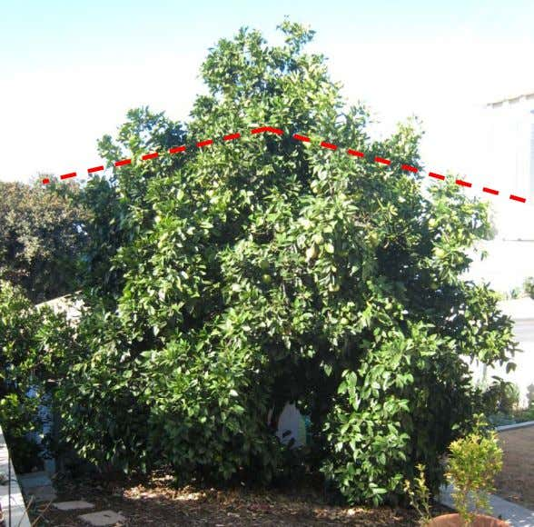 "Citrus"" to correctly prune the remaining branches. • As th e upper l ayers o f"