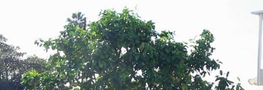 to reduce pests. • Yearly maintenance pruning will keep the tree i n goo d h