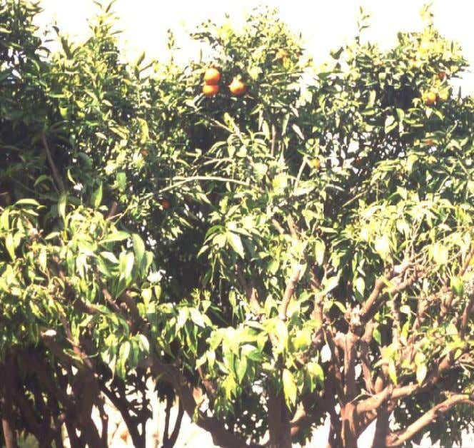 A Systematic Approach to Pruning Citrus Reducin g a tree b y more than 30%