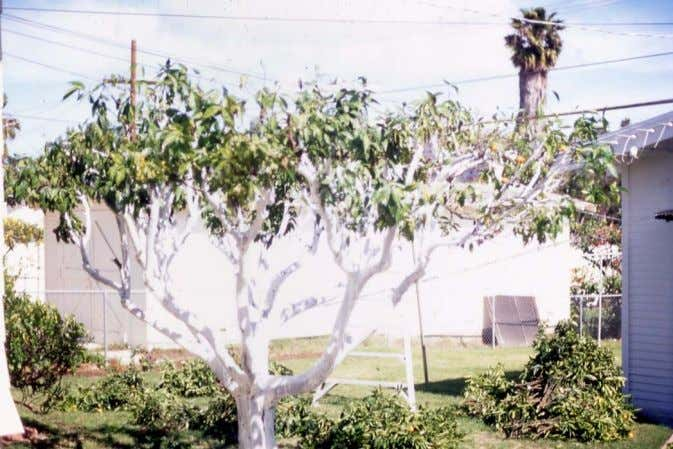 a t ree b y more th an 30% • Whitewash the bark if pruning has