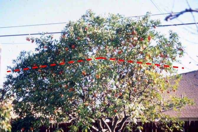A Systematic Approach to Pruning Citrus Red uc i ng a t ree b y more