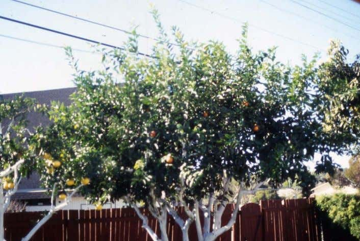 width with minimal loss of fruit or harmful effects on the tree. • Always use thinning