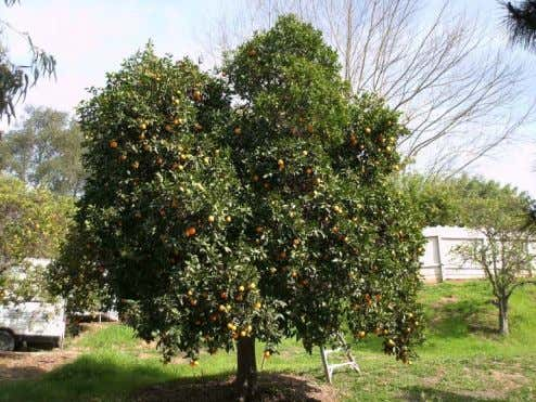 CITRUS PRUNING By Tom Del Hotal
