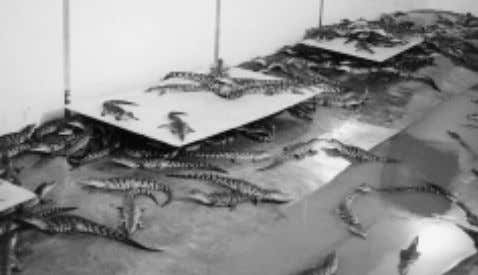 Rev. sci. tech. Off. int. Epiz., 21 (2) Fig. 1 Hide boards in a crocodile rearing