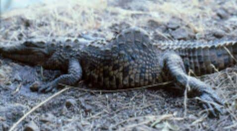 palpated in the live crocodile. No treatment is available. Fig. 12 Juvenile Nile crocodile with kyphoscoliosis