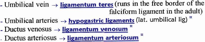 Umbilical vein -+ @(runs in the free border of the - falciform ligament in the