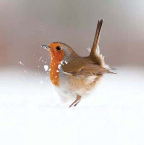 Robin To generate a shutter speed fast enough to freeze this robin's movement, I selected