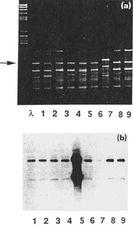 Fig. 5 Use of amplification products as probes. (a) RAPD fingerprint gel (primer 814 5'TCCGCTCTGG)
