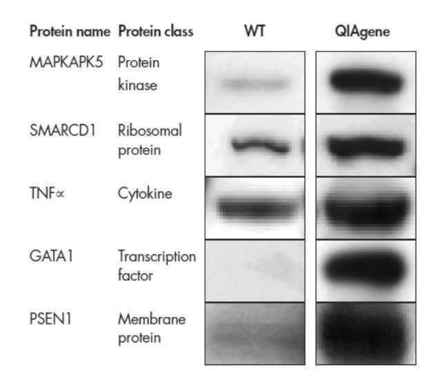 Figure 3. Optimized protein-codi ng sequences increase yields. The wild-type (WT) and an optimized QIAgenes