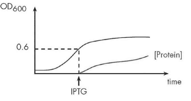 normally until protein ex pression is induced (Figure 6). Figure 6. Induction of protein expression by