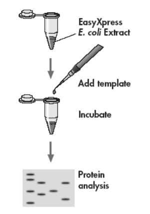 or contact your local Technical Services Department. Figure 9. In vitro translat ion of recombinant proteins.