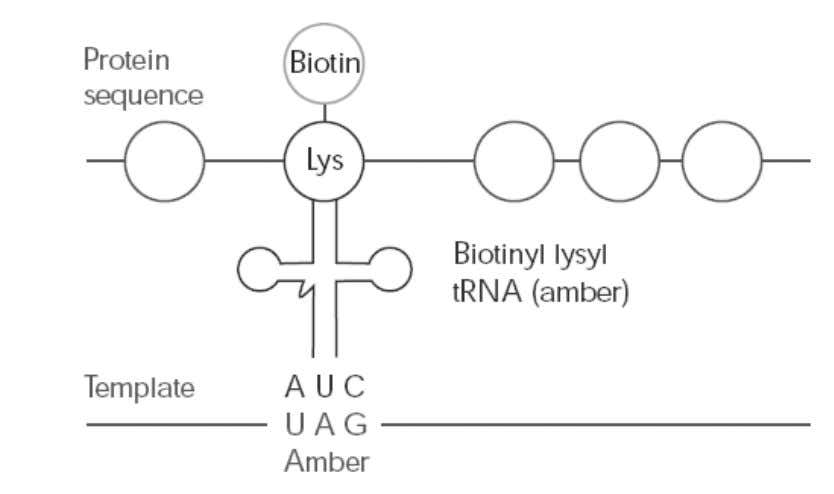 on Streptavidin supports for interaction studies (4). Figure 10. Schematic representation of biot in incorporation