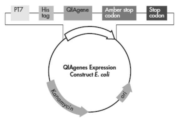 fa st screening and analysis of target protein expression. Figure 1. QIAgenes Expression Construct E. coli