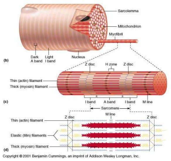 at myosin)  A band (extends length of myosin filaments) © 2009 The McGraw-Hill Companies, Inc.