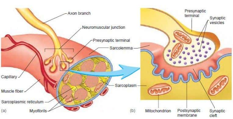terminal and muscle fiber)  postsynaptic membrane © 2009 The McGraw-Hill Companies, Inc. All rights reserved