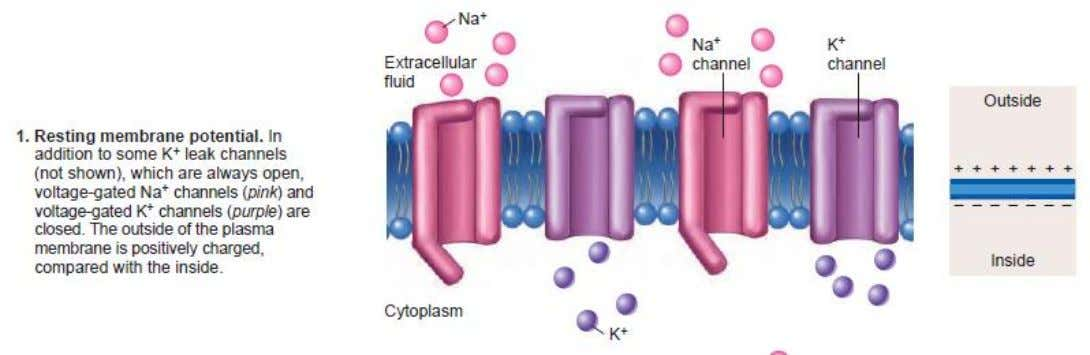 26-17 Ion Channels and Action Potential © 2009 The McGraw-Hill Companies, Inc. All rights reserved