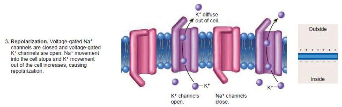 26-19 Ion Channels and Action Potential © 2009 The McGraw-Hill Companies, Inc. All rights reserved